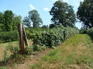 row of grapevines