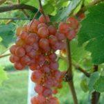 Somerset grapes