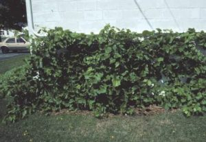 growth of grape vine after one year