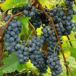 St. Croix grapes