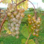 St. Pepin grapes