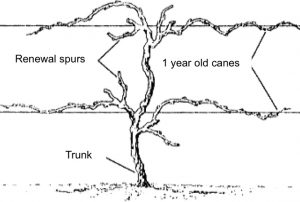 illustration showing the trunk, one-year-old canes and renewal spurs of a grapevine