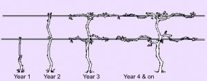 illustration showing grapevine training techniques for year 1, 2, 3, 4 and on