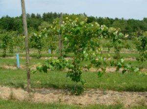 trellised grapevine