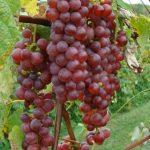 Vanessa grapes