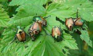 Japanese beetles on grape leaf
