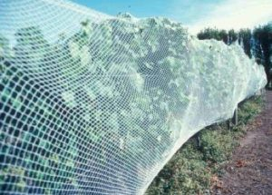 netting over grapevines to keep out birds