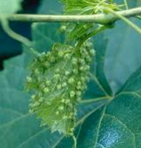 galls on grape leaf caused by Phylloxera