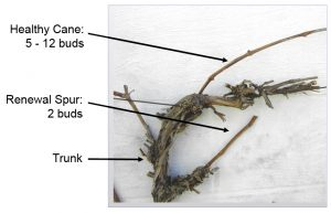 pruned grapevine showing healthy cane with 5-12 buds, renewal spur with 2 buds, abd the trunk