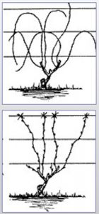 Illustration showing how to train grapevines, unpruned and pruned