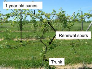 Mature vines: trunk, renewal spurs, 1-year-old canes
