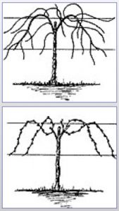 Illustrations showing mature vines, unpruned and pruned