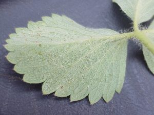 Two-spotted Spider Mites