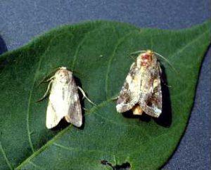 Fall Armyworm Moths