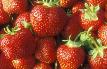 Strawberries, variety Jewel