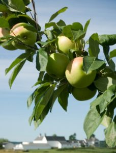 Apple tree at Highmoor Farm