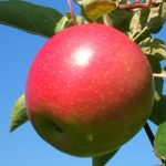 apple variety Brock