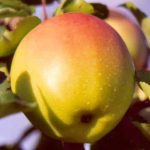 apple, variety Gingergold