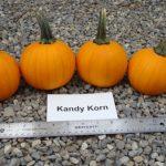 pumpkins, variety Kandy Korn