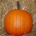 pumpkin, variety Magic Lantern