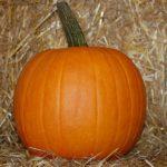 pumpkin, variety Racer