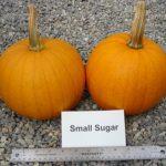 pumpkin, variety Small Sugar