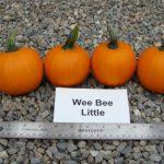 pumpkins, variety Wee Bee Little