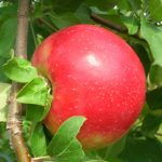 apple, variety Zestar!