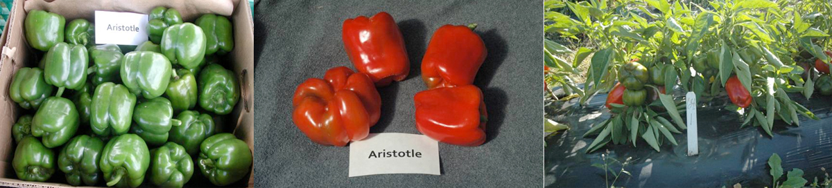Peppers: Aristotle