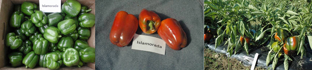 Peppers: Islamorada