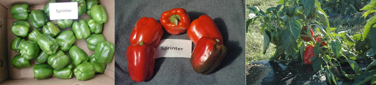 Peppers: Sprinter