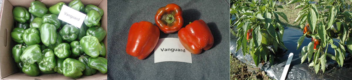 Peppers: Vanguard