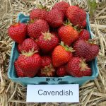 Cavendish strawberries