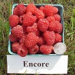 Encore raspberries