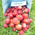 Flavorfest strawberries