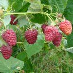 Joan J raspberries
