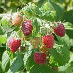 Polana raspberries