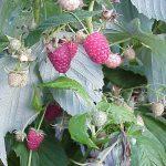Polka raspberries