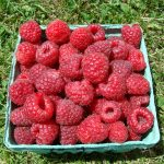 Prelude raspberries