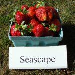 Seascape strawberries