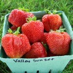 Valley Sunset strawberries