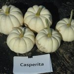 Casperita pumpkins