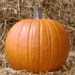 pumpkin variety Gladiator