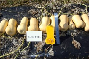 Butternut squash variety Metro PMR