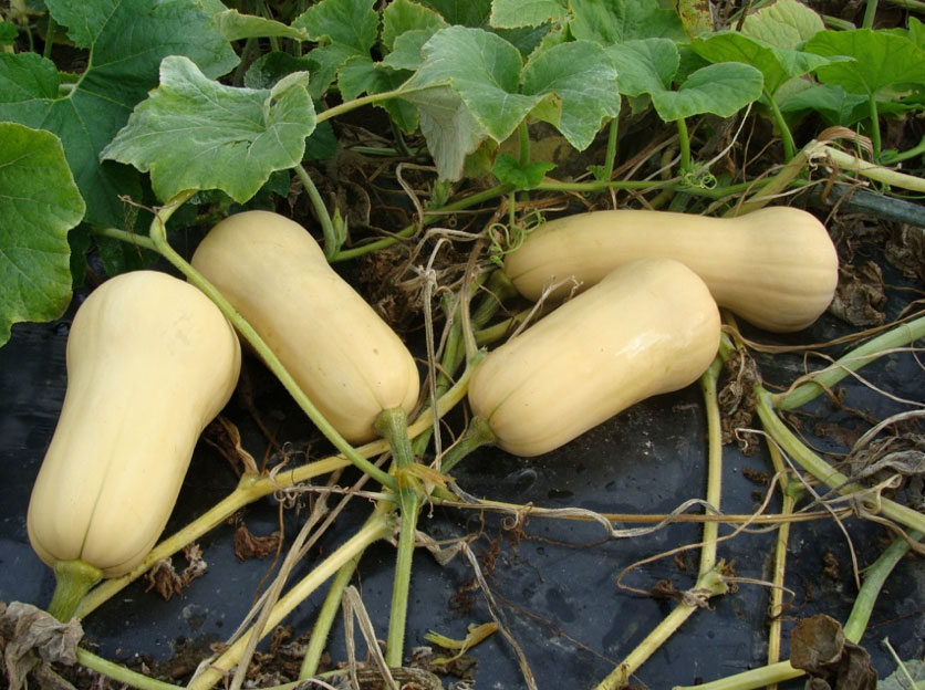 Butternut Squash Variety Trial 2014 - Cooperative Extension at Highmoor  Farm - University of Maine Cooperative Extension