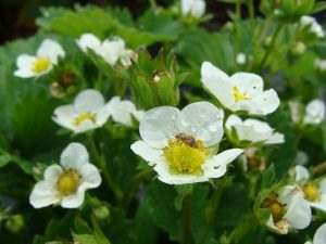 Tarnished Plant Bug on Strawberry