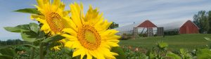 Sunflowers growing near greenhouses