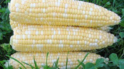 shucked ears of sweet corn