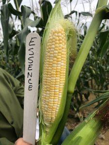 Ear of sweet corn: Essence variety