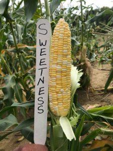 Ear of sweet corn: Sweetness variety